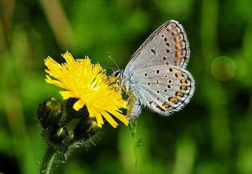 Karner Blue butterfly, USFWSmidwest